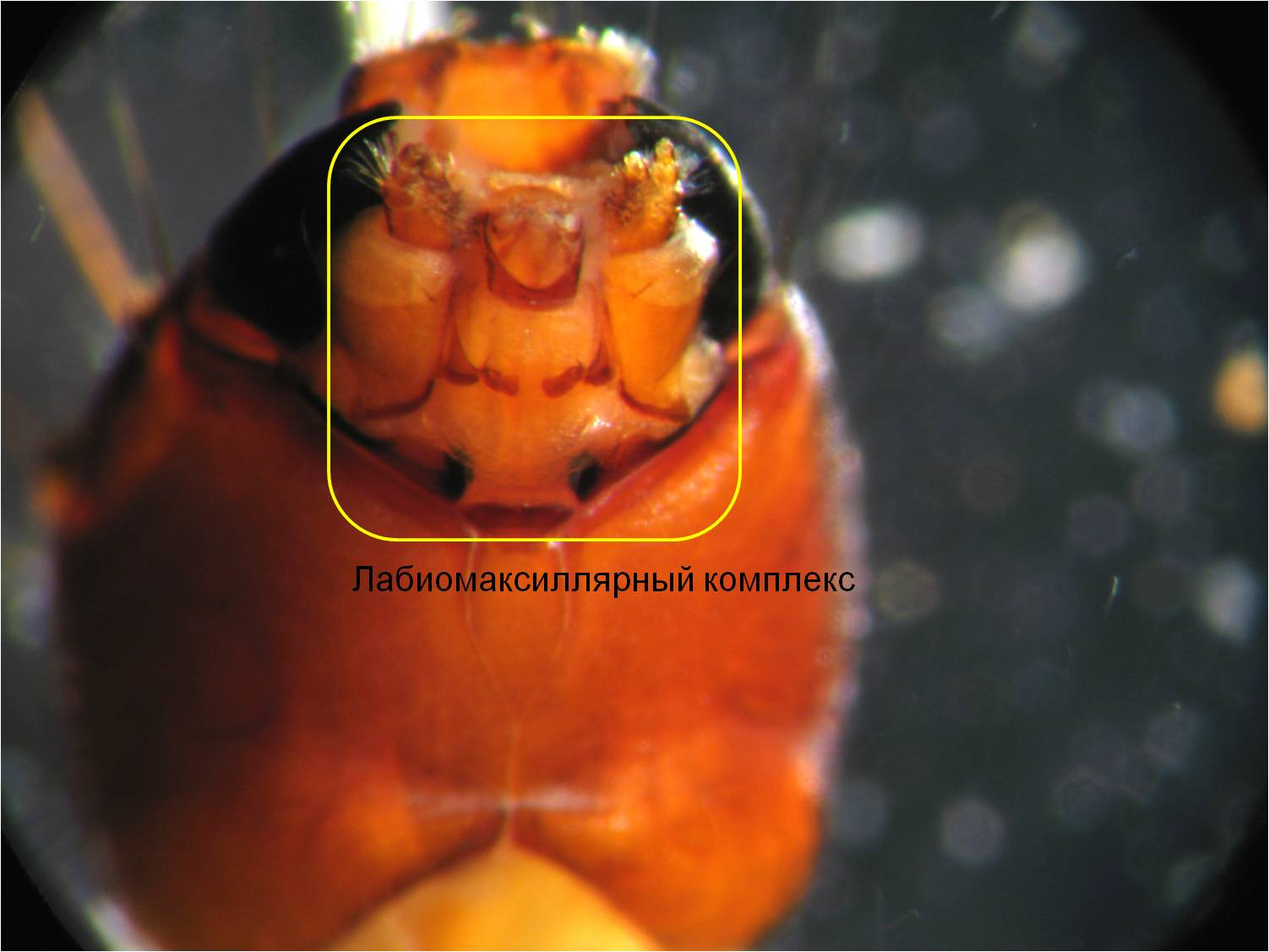 Гипофаринкс фото