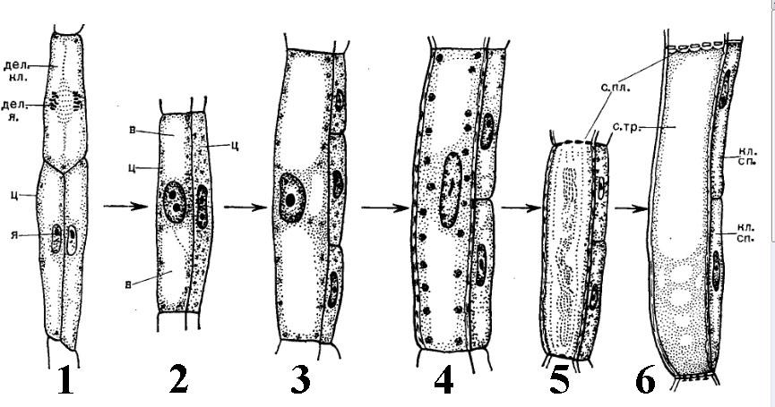 Движение цитоплазмы можно наблюдать под микроскопом в клетках листа элодеи.  Элодея - водное цветковое растение...