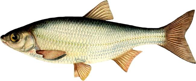 по ходу неопознанная рыба это елец.